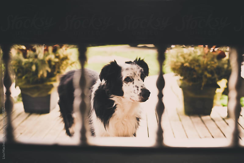 view of black and white dog through vintage screen door by Lisa MacIntosh for Stocksy United