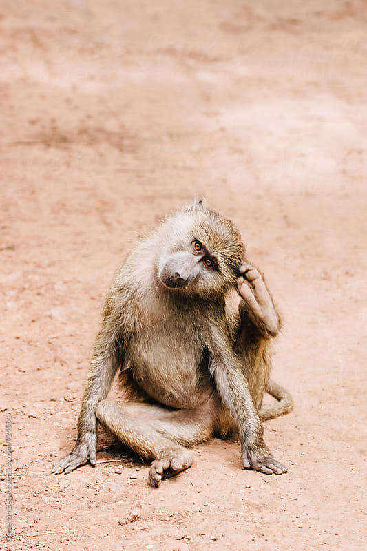 young baboon scratching ear with foot by Cameron Zegers for Stocksy United