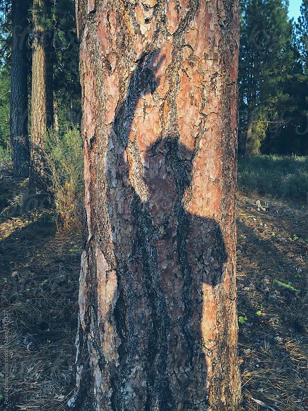 Man's shadow on Ponderosa pine tree (Pinus ponderos) by Paul Edmondson for Stocksy United