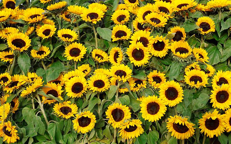 sunflowers by Rene de Haan for Stocksy United