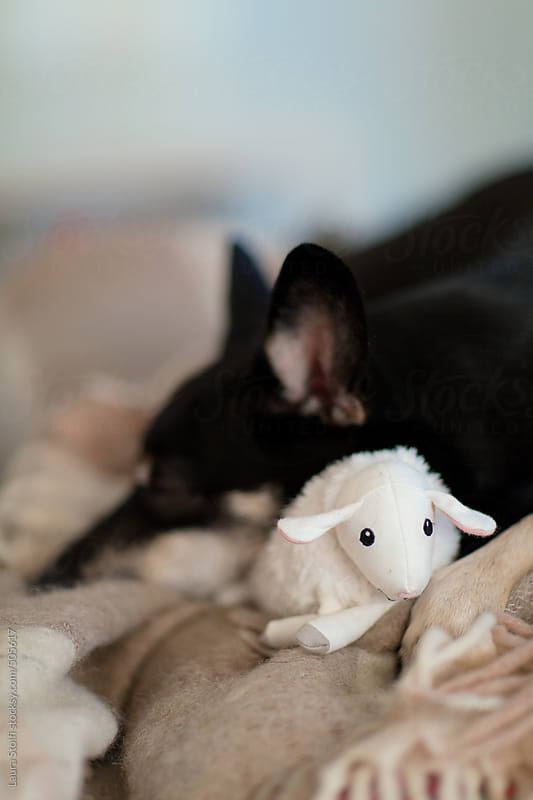 Adorable dog sleeps hugging her sheep shaped soft toy by Laura Stolfi for Stocksy United