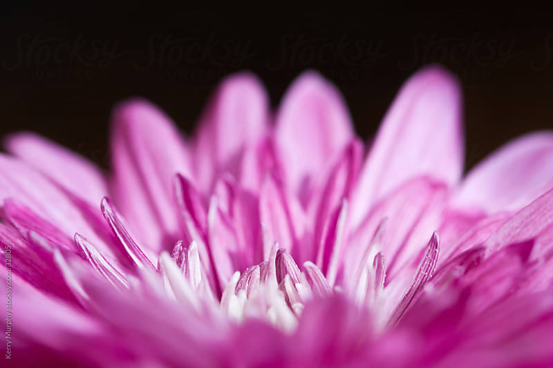 Macro of vibrant pink flower by Kerry Murphy for Stocksy United