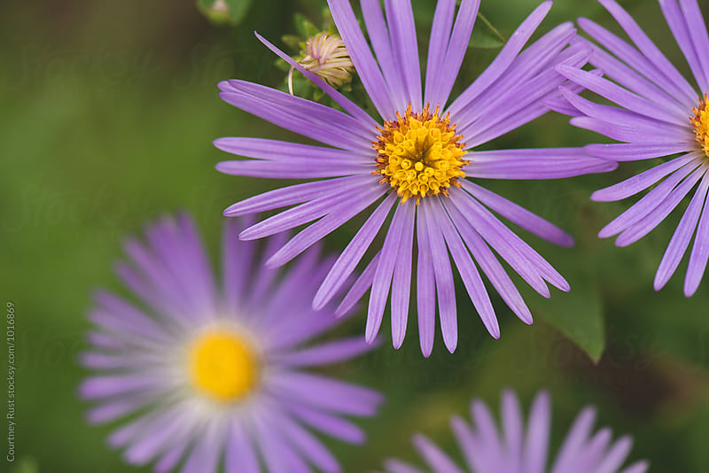 Fall Asters, a purple flower  by Courtney Rust for Stocksy United