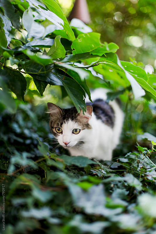 Siberian cat exploring bushes in sunny outdoors by Laura Stolfi for Stocksy United