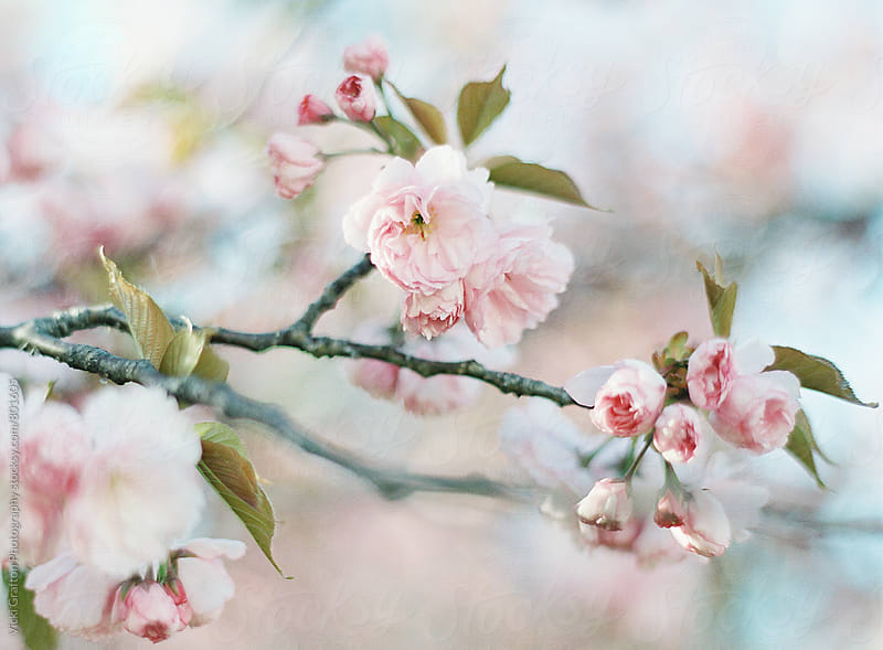 Spring Blossoms by Vicki Grafton Photography for Stocksy United
