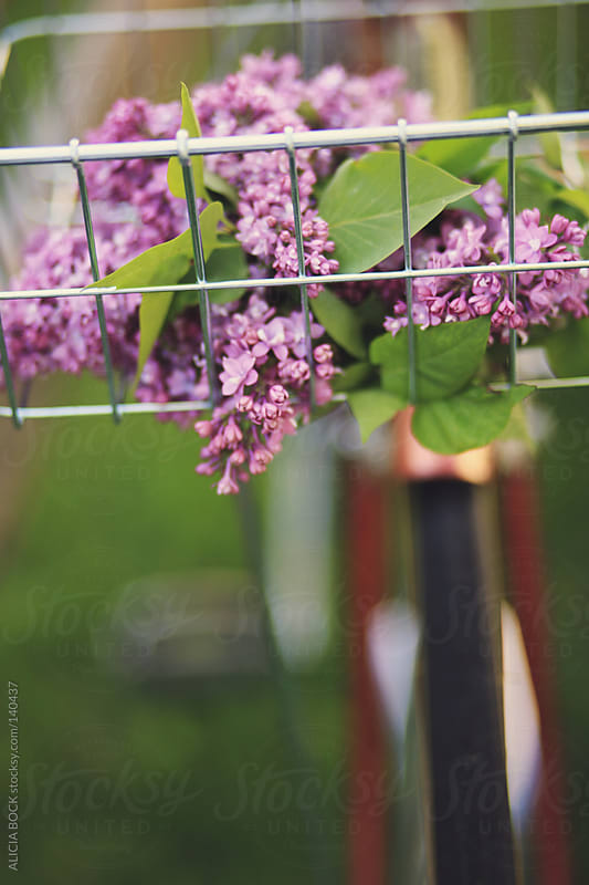 Bike With Lilacs - Vertical by ALICIA BOCK for Stocksy United