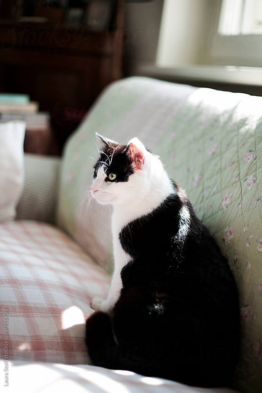 Close up of black and white cat sitting cozily on sofa in sunshine by Laura Stolfi for Stocksy United