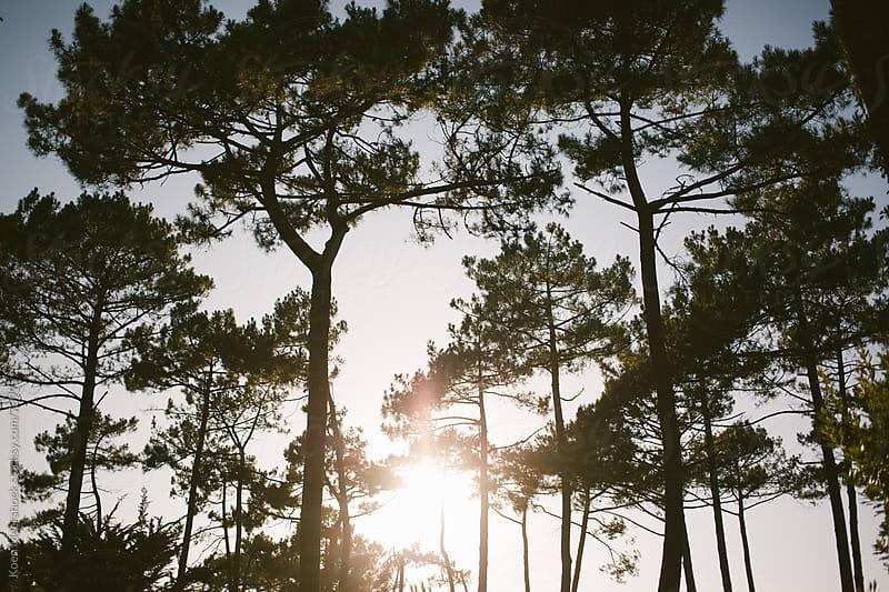 Sunset shining thru some pine-trees.  by Koen Meershoek for Stocksy United