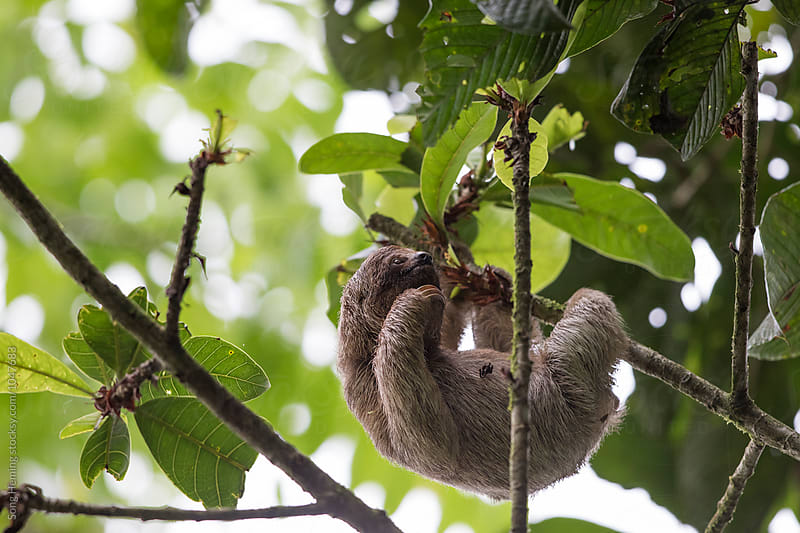 A sloth on a branch by Song Heming for Stocksy United