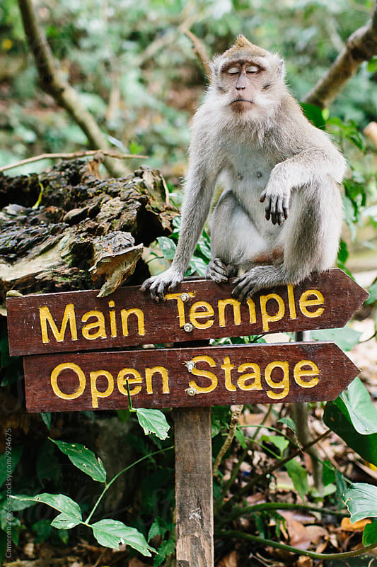 monkey sitting on sign in Ubud Monkey Forest, Bali by Cameron Zegers for Stocksy United