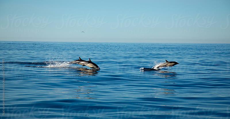 common dolphin  by Nat sumanatemeya for Stocksy United