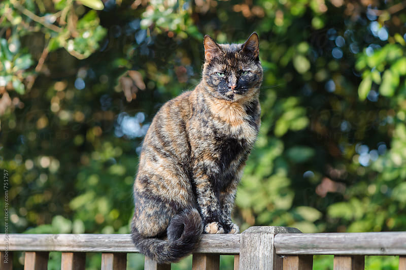 Tortoiseshell cat looks unimpressed at the viewer by Rebecca Spencer for Stocksy United