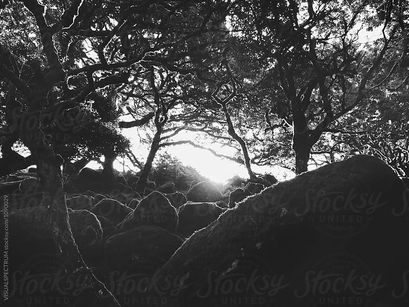 Black and White Shot of Ancient Whistman's Wood at Sunrise (Dartmoor NP, Devon, England) by VISUALSPECTRUM for Stocksy United