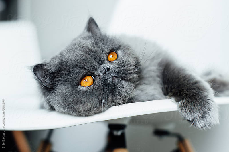 Persian kitty daydreaming by Ellie Baygulov for Stocksy United