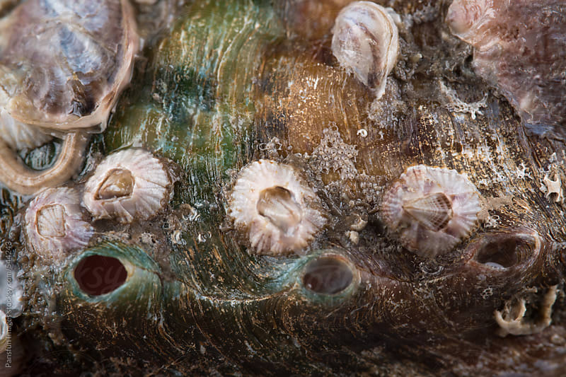 barnacle on seashell abalone by Pansfun Images for Stocksy United