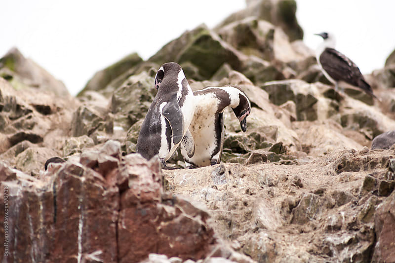 Two penguins on a rocky ledge by Ben Ryan for Stocksy United