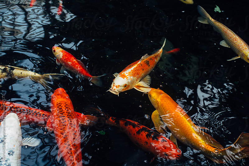 Gold fish in a pond by Gabriel (Gabi) Bucataru for Stocksy United
