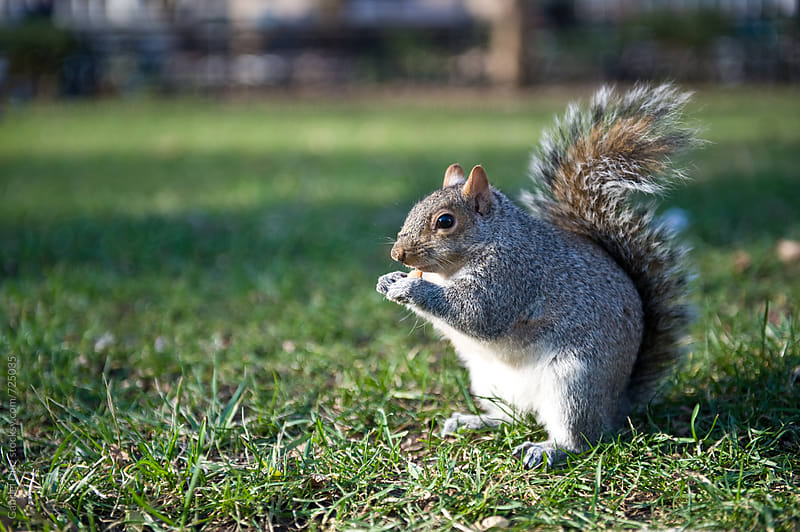 Squirrel at central park NYC by Gabriel Diaz for Stocksy United