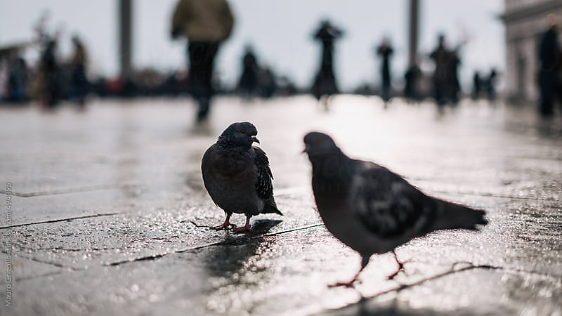 Pigeons in Venice by Mauro Grigollo for Stocksy United