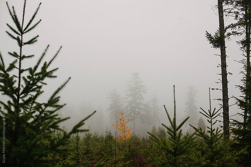 Golden Tree in Fog by Grady Mitchell for Stocksy United