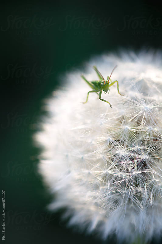 Tiny grasshopper resting on a dandelion flower head by Pixel Stories for Stocksy United
