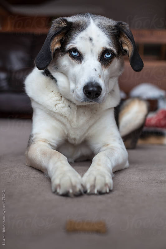 beautiful blue eyed dog sitting with dog biscuit in front of her by Lisa MacIntosh for Stocksy United