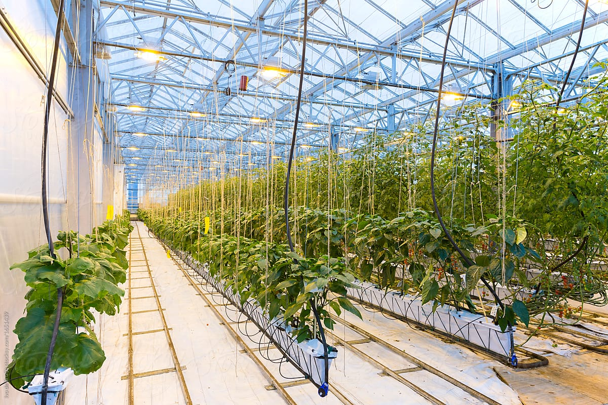 Photo Of A Modern Greenhouse In Which Vegetable Plants Are Cultivated By  Ivo De Bruijn For