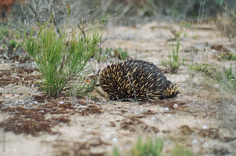 Echidna foraging amongst sand dunes by Dominique Chapman for Stocksy United