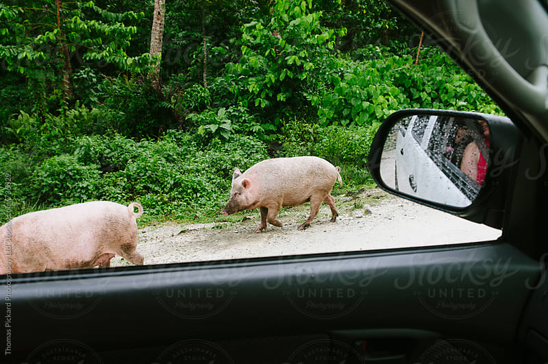 Domestic pigs, Samoa. by Thomas Pickard for Stocksy United