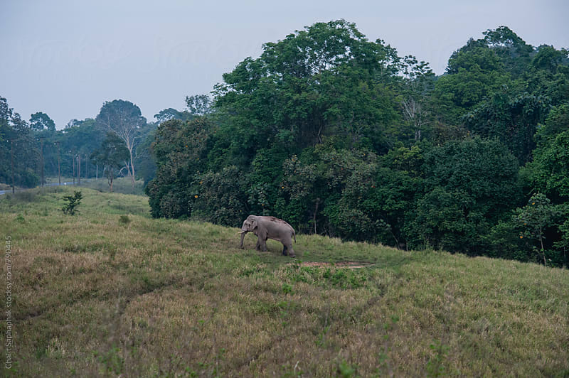 Wild Elephant at Khao Yai National Park,Thailand by Chalit Saphaphak for Stocksy United