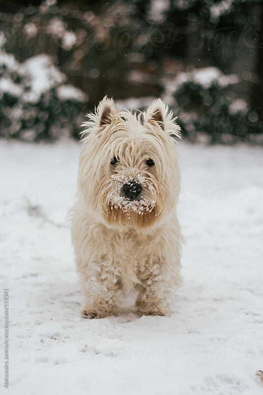 Cute dog playing on the snow by Aleksandra Jankovic for Stocksy United