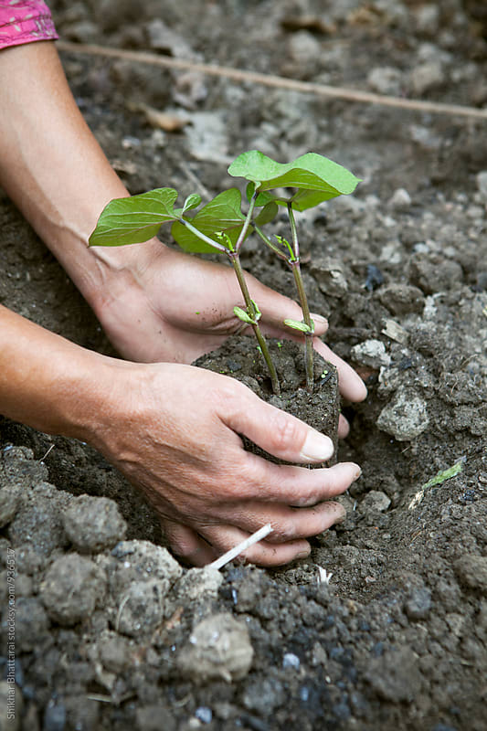 Hands planting in the garden. by Shikhar Bhattarai for Stocksy United