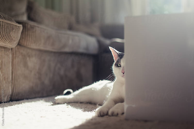 White and grey cat lying in the sunlight and peeking from behind a table by Cindy Prins for Stocksy United