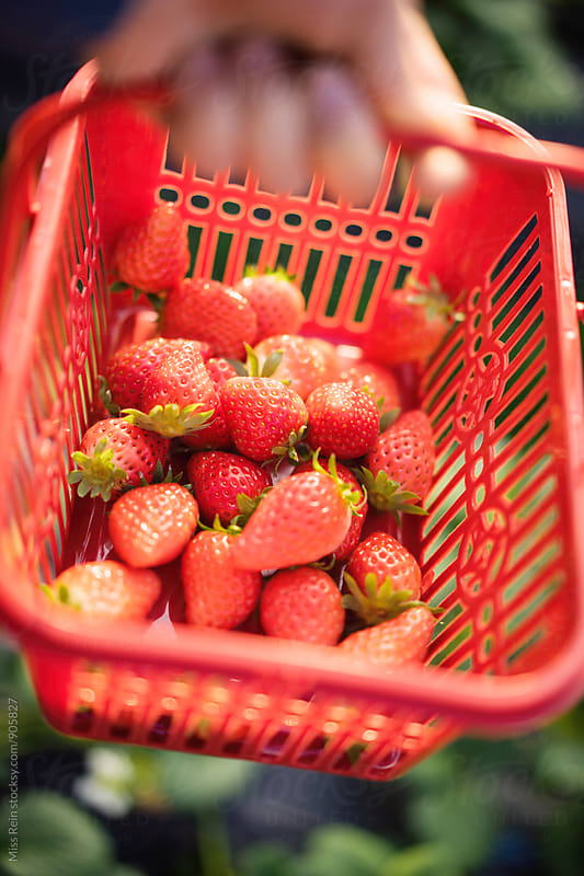 Picking fresh natural organic strawberries,shanghai,china by Miss Rein for Stocksy United