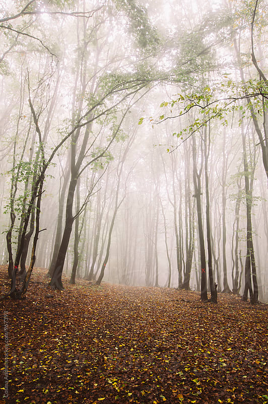 Mysterious autumn forest with fog by Cosma Andrei for Stocksy United