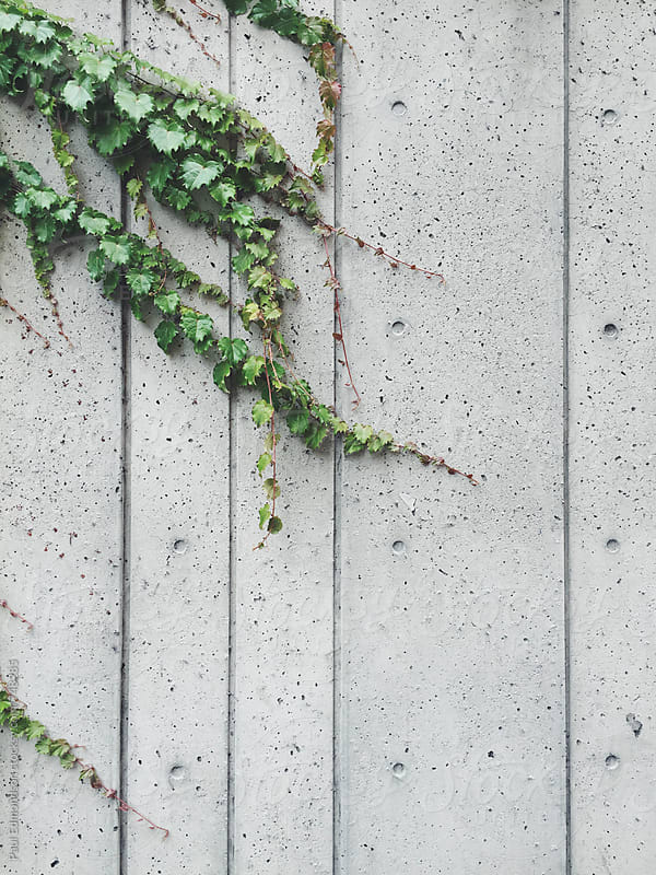 Vine growing on modern concrete wall by Paul Edmondson for Stocksy United