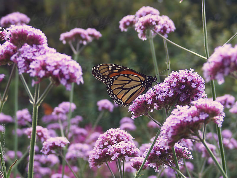 Monarch Butterfly Resting On Purple Flowers by ALICIA BOCK for Stocksy United