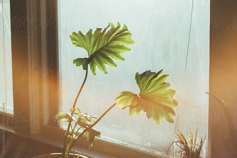 Houseplant in sunny window by Tari Gunstone for Stocksy United