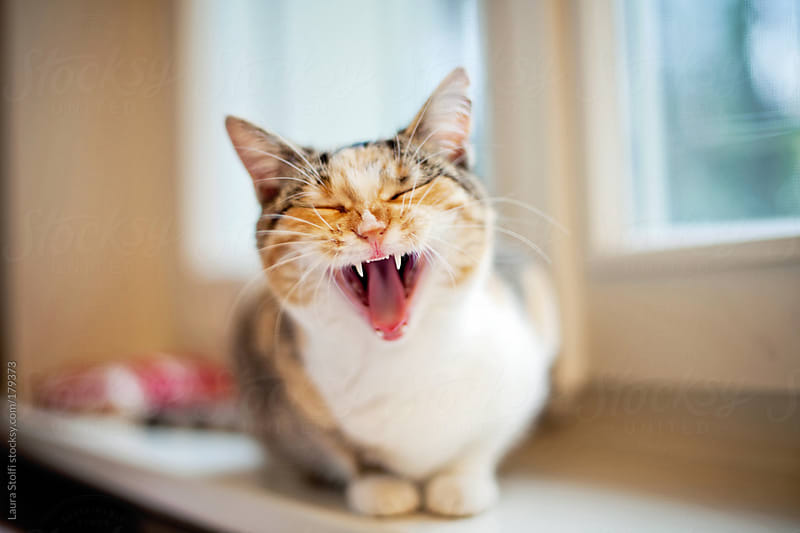 A very sleepy cat with a very wide open mouth by Laura Stolfi for Stocksy United