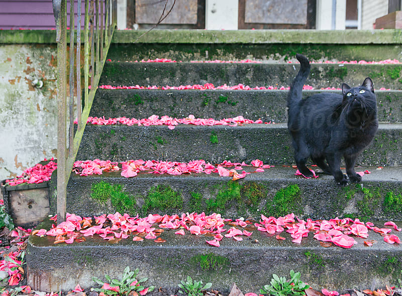 Black cat on flower petal covered concrete steps looking up by Mihael Blikshteyn for Stocksy United