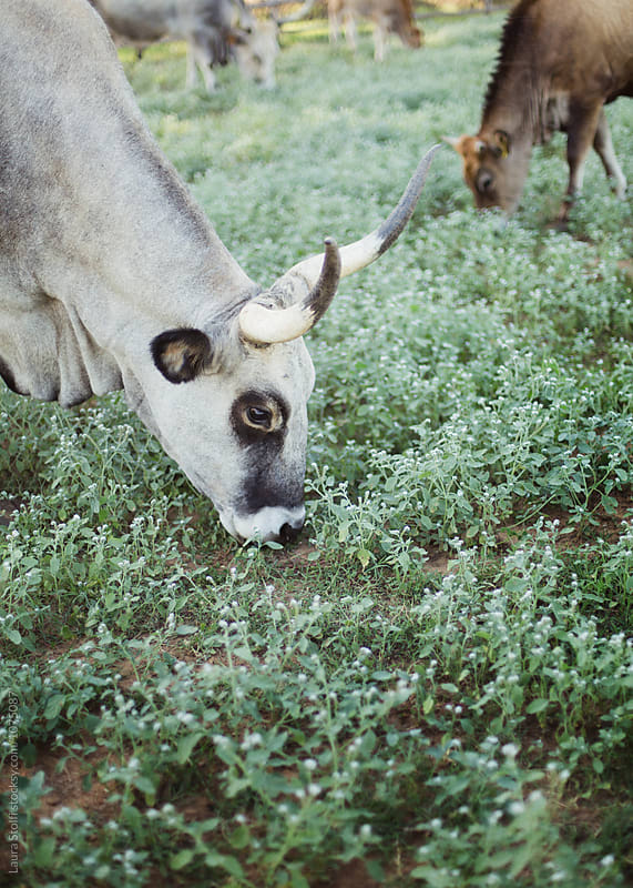 Grey horny cow browses wild grass in Tuscany countryside by Laura Stolfi for Stocksy United