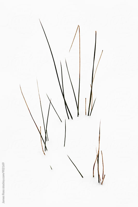 Strands of grass in deep snow by James Ross for Stocksy United