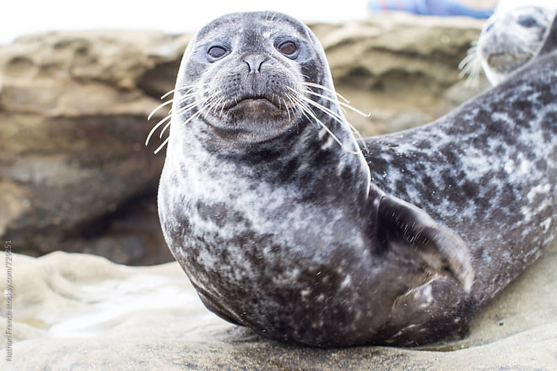 Harbor Seal Pup by Nathan French for Stocksy United
