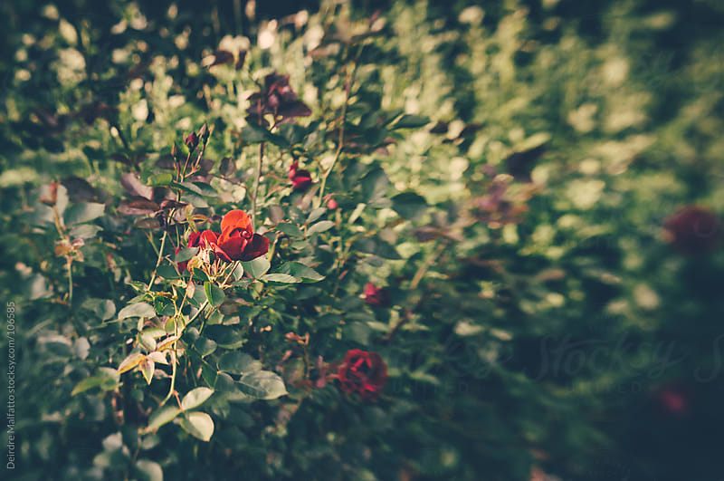 a red rose on a rosebush by Deirdre Malfatto for Stocksy United