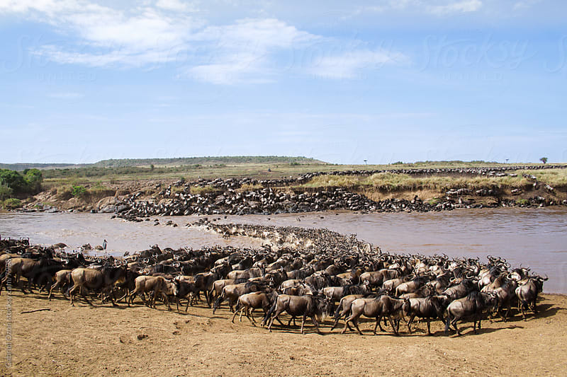 Great Wildebeest Migration by Gabriel Ozon for Stocksy United
