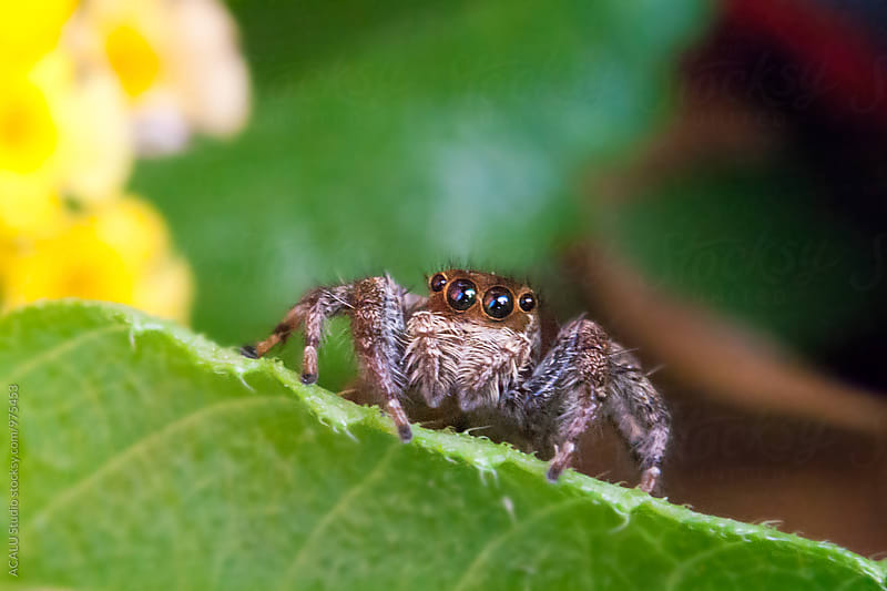 Jumping spider on a leaf by ACALU Studio for Stocksy United