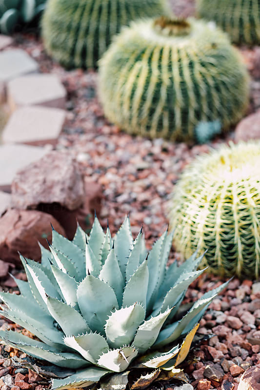 Garden Cacti by ZOA PHOTO for Stocksy United
