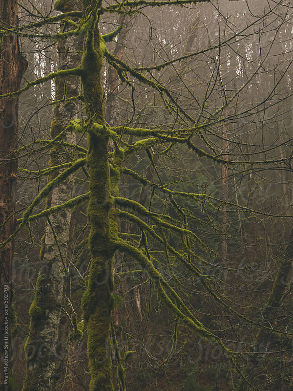 Moss Covered Evergreens by Ryan Matthew Smith for Stocksy United