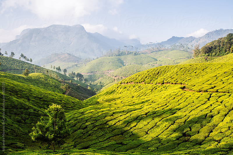 Lush mountainous green scenery of tea plantations and trees in a valley on a sunny day in Munnar, India by Alejandro Moreno de Carlos for Stocksy United