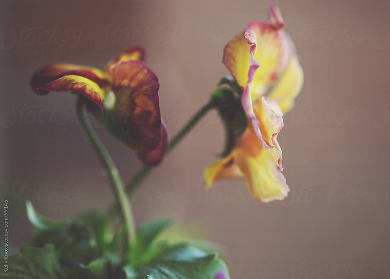 profile of two pansies  by Kelly Knox for Stocksy United